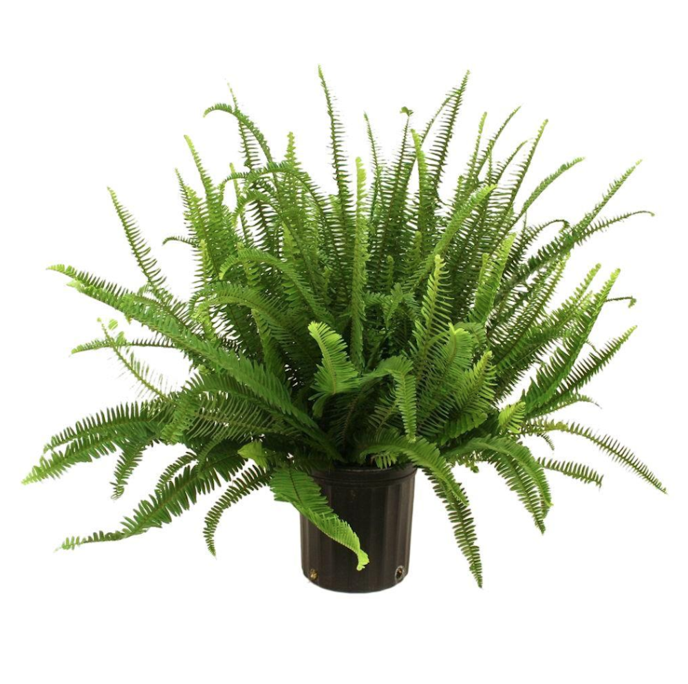29 Easy Houseplants to Beat the Winter Blues! Kimberly Queen Fern #HousePlants #EasytoGrow #Gardening #LowMaintenance #HomeDecor #IndoorPlants #DIY