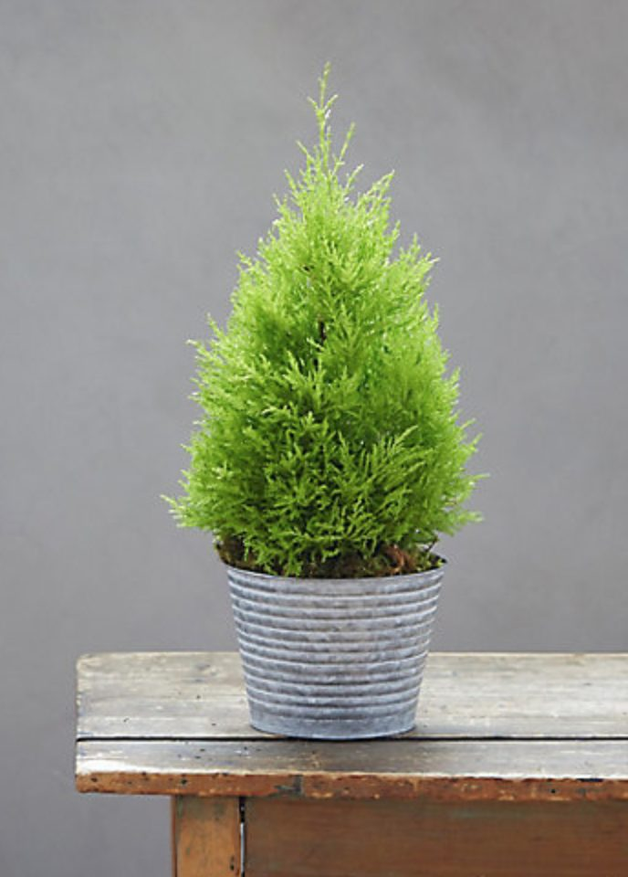 29 Easy Houseplants to Beat the Winter Blues! Lemon Cypress Topiary #HousePlants #EasytoGrow #Gardening #LowMaintenance #HomeDecor #IndoorPlants #DIY
