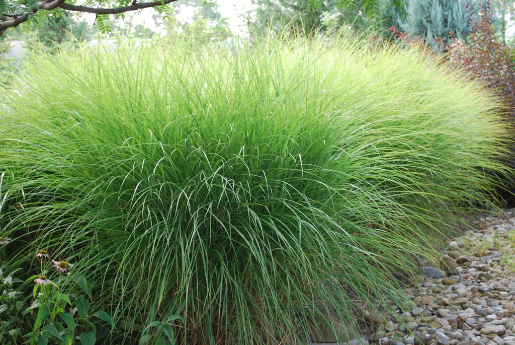 24 Best Ornamental Grasses Miscanthus Gracillimus Maiden Grass #Grasses #OrnamentalGrasses #Perennials #Garden #Gardening #Landscape