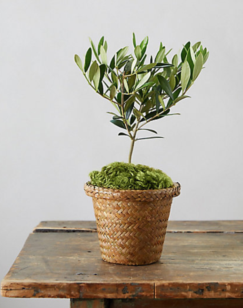 29 Easy Houseplants to Beat the Winter Blues! Olive Tree #HousePlants #EasytoGrow #Gardening #LowMaintenance #HomeDecor #IndoorPlants #DIY