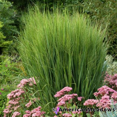 24 Best Ornamental Grasses Panicum Northwind #Grasses #OrnamentalGrasses #Perennials #Garden #Gardening #Landscape