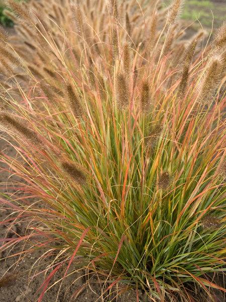 24 Best Ornamental Grasses Pennisetum Desert Plains #Grasses #OrnamentalGrasses #Perennials #Garden #Gardening #Landscape
