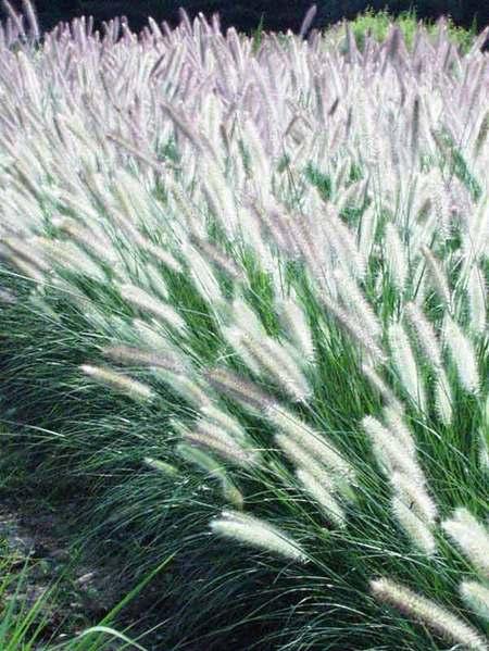 24 Best Ornamental Grasses Pennisetum Foxtrot #Grasses #OrnamentalGrasses #Perennials #Garden #Gardening #Landscape