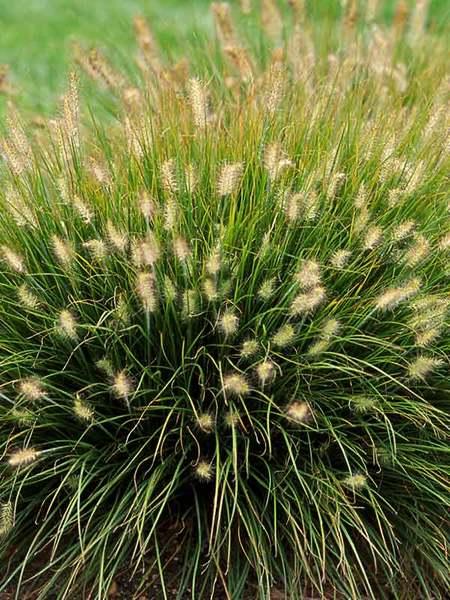 24 Best Ornamental Grasses Pennisetum Little Bunny #Grasses #OrnamentalGrasses #Perennials #Garden #Gardening #Landscape