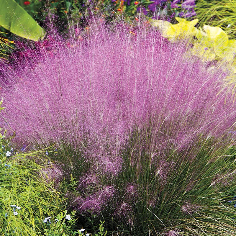 24 Best Ornamental Grasses Pink Muhly Grass #Grasses #OrnamentalGrasses #Perennials #Garden #Gardening #Landscape