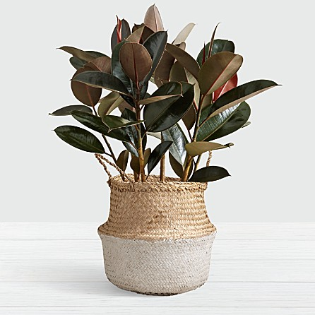29 Easy Houseplants to Beat the Winter Blues! Rubber Tree #HousePlants #EasytoGrow #Gardening #LowMaintenance #HomeDecor #IndoorPlants #DIY