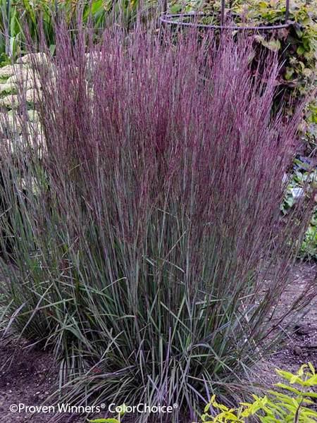 24 Best Ornamental Grasses Schizachyrium Blue Paradise #Grasses #OrnamentalGrasses #Perennials #Garden #Gardening #Landscape