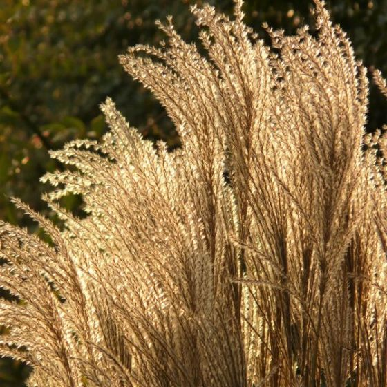 24 Best Ornamental Grasses Silver Feather Maiden Grass Miscanthus #Grasses #OrnamentalGrasses #Perennials #Garden #Gardening #Landscape