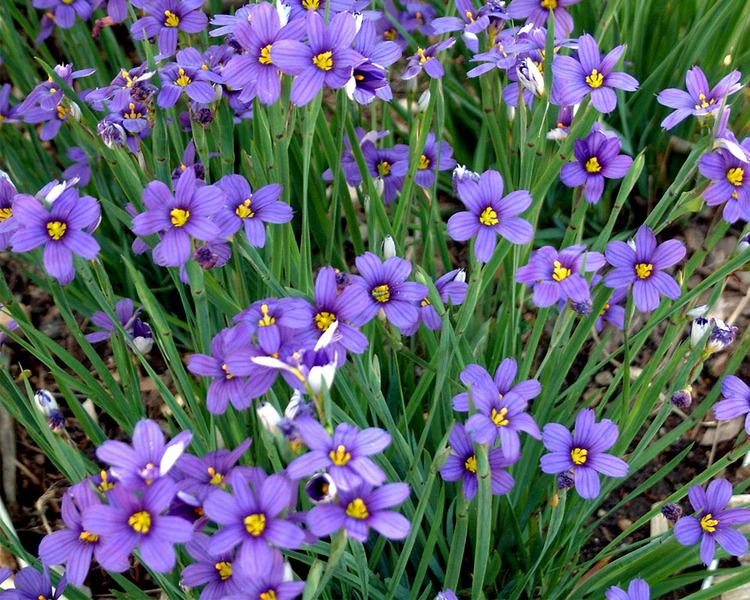 24 Best Ornamental Grasses Sisyrinchium Lucerne Blue Eyed #Grasses #OrnamentalGrasses #Perennials #Garden #Gardening #Landscape