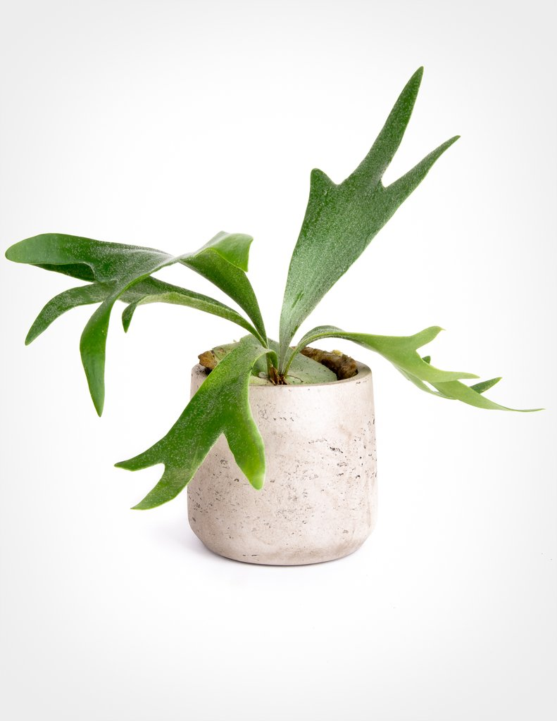 29 Easy Houseplants to Beat the Winter Blues! Staghorn Fern Platycerium Bifurcatum #HousePlants #EasytoGrow #Gardening #LowMaintenance #HomeDecor #IndoorPlants #DIY