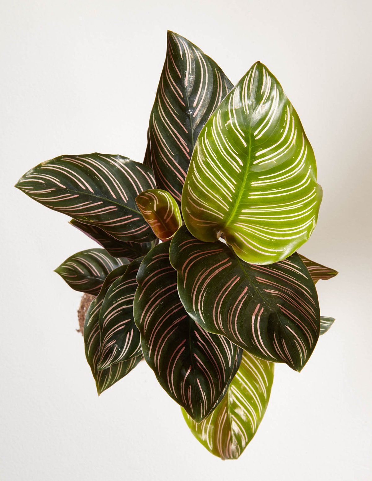 29 Easy Houseplants to Beat the Winter Blues! Calathea Pinstripe #HousePlants #EasytoGrow #Gardening #LowMaintenance #HomeDecor #IndoorPlants #DIY