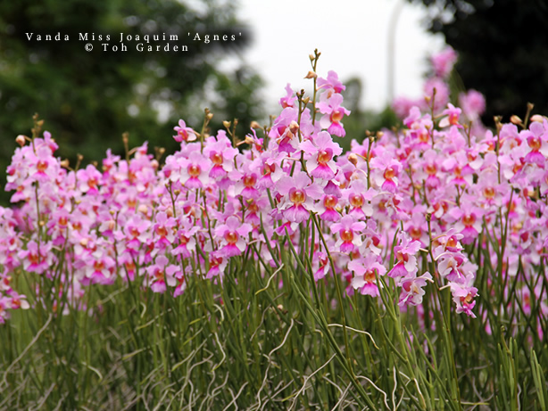 The Orchid Show 2019: Singapore Vanda Miss Joaquim Toh Gardens #NYBG #NewYorkBotanticalGarden #TheOrchidShow #TheOrchidShowSingapore #Spring #SpringFlowers #Orchids #NYC #VandaMissJoaquim #SingaporesNationalFlower