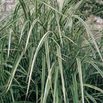 24 Best Ornamental Grasses Variegated Japanese Silver Grass #Grasses #OrnamentalGrasses #Perennials #Garden #Gardening #Landscape
