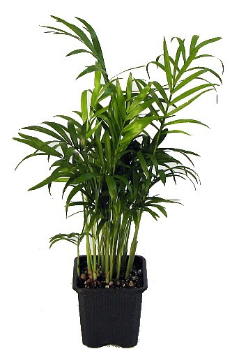 29 Easy Houseplants to Beat the Winter Blues! Victorian Parlor Palm Chamaedorea #HousePlants #EasytoGrow #Gardening #LowMaintenance #HomeDecor #IndoorPlants #DIY
