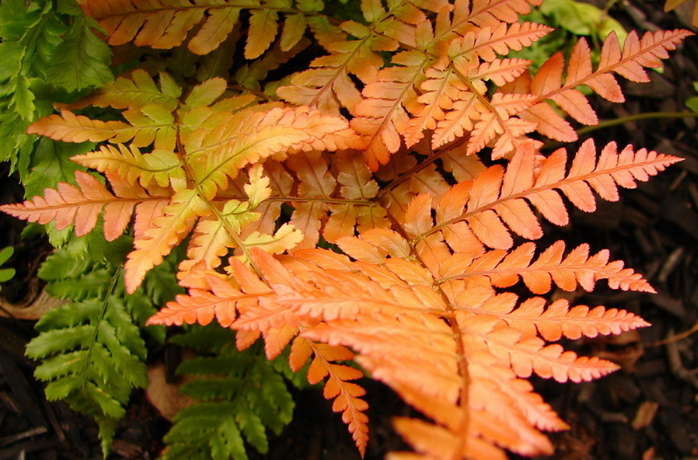 21 Best Ferns for Your Garden Brilliance Autumn Fern #Ferns #Garden #Gardening #Shade #ShadeLoving #ShadeLover #ShadeGarden #Landscape #Woodlands