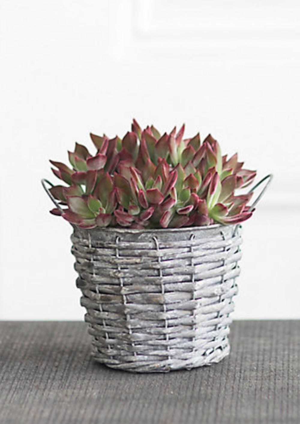 13 Best Indoor Succulents to Grow Now! Devotion Echeveria #Succulents #Garden #Gardening #HousePlants #Decor #HomeDecor #GrowYourOwn #Affordable #DIY #BudgetFriendly #EasyToGrow #EasyToMaintain
