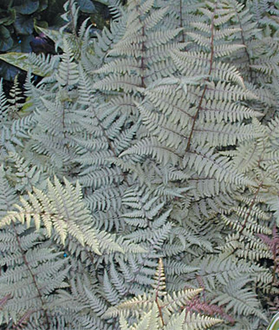 21 Best Ferns for Your Garden Ghost Athyrium #Ferns #Garden #Gardening #Shade #ShadeLoving #ShadeLover #ShadeGarden #Landscape #Woodlands
