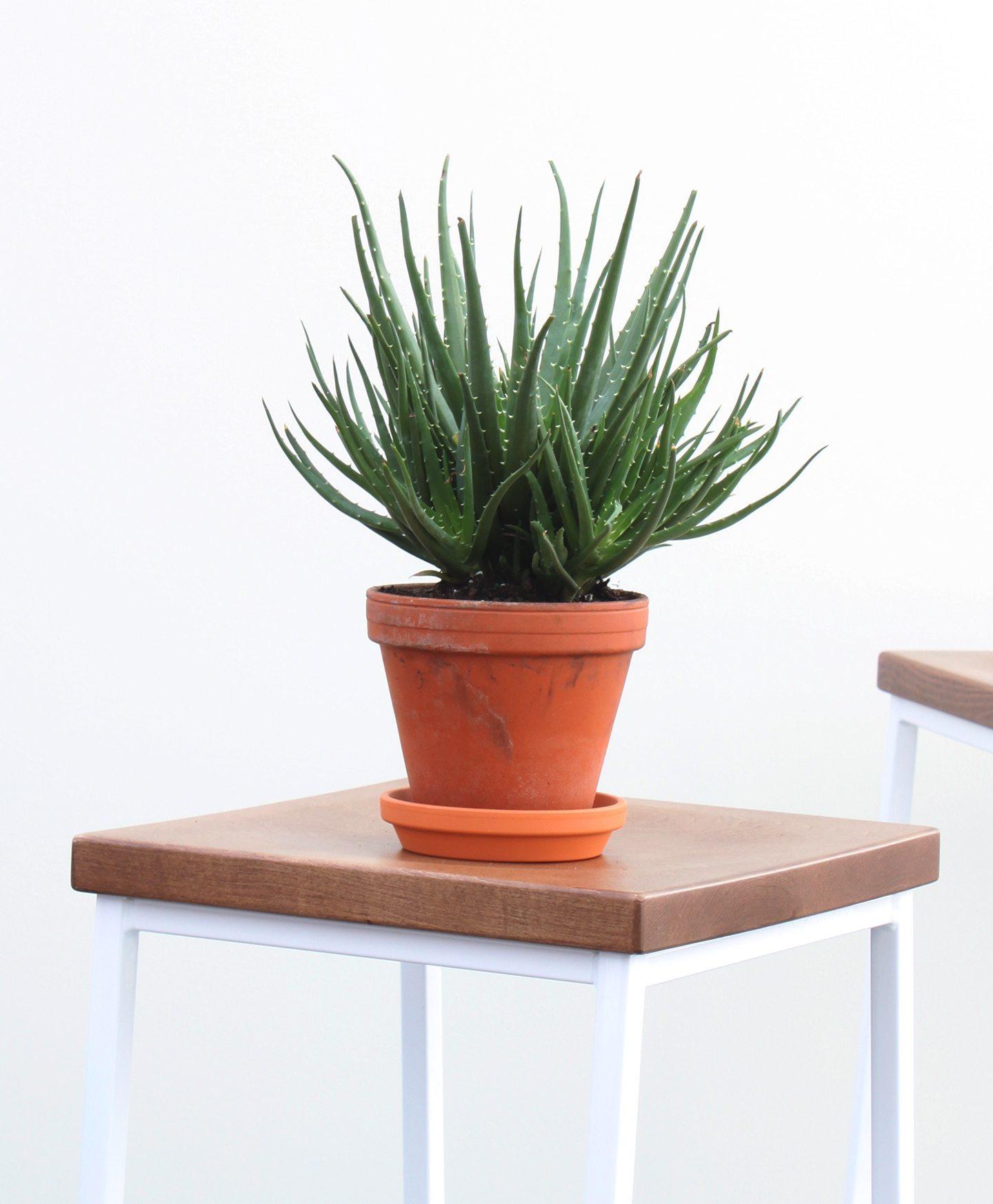 13 Best Indoor Succulents to Grow Now! HedgeHog Aloe #Succulents #Garden #Gardening #HousePlants #Decor #HomeDecor #GrowYourOwn #Affordable #DIY #BudgetFriendly