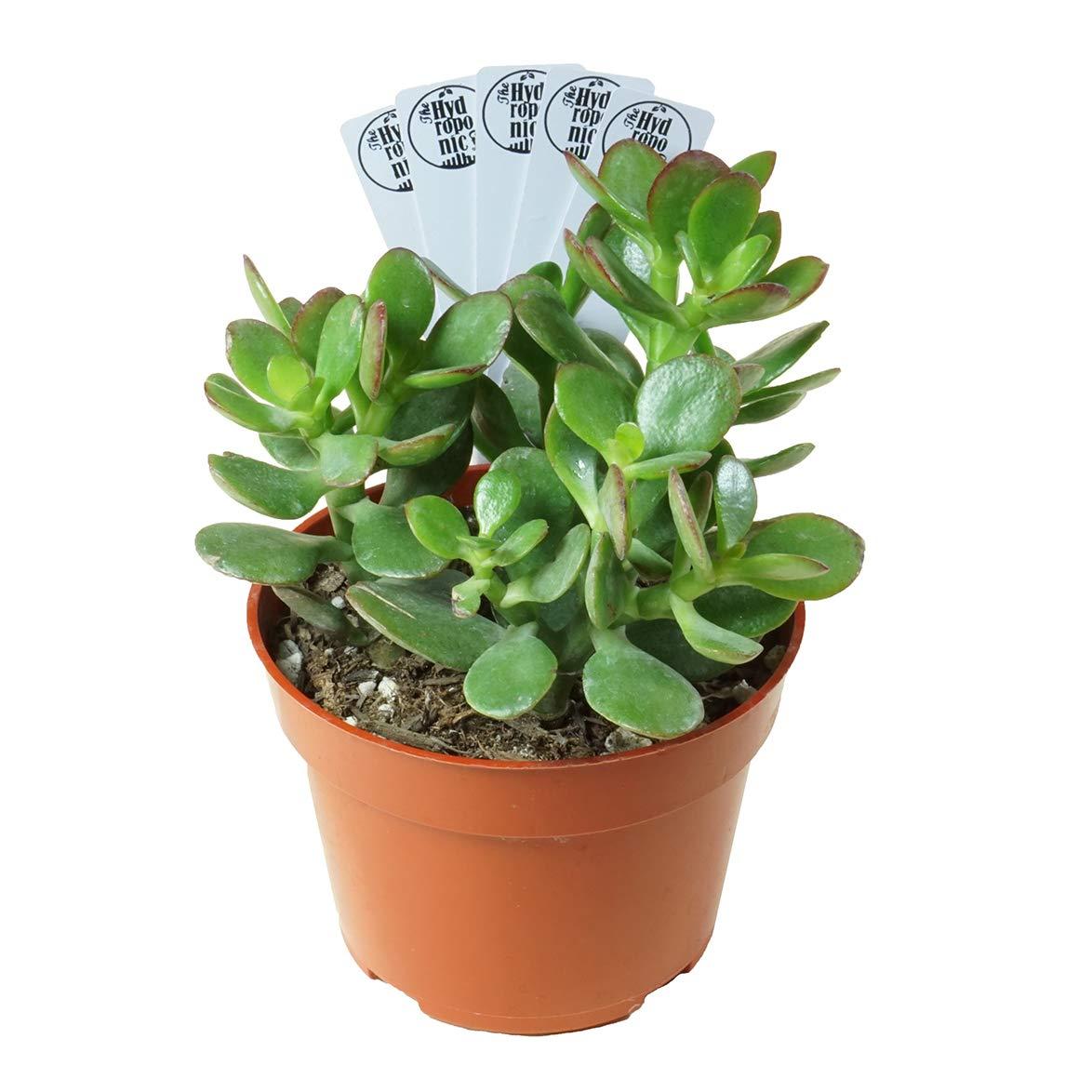 13 Best Indoor Succulents to Grow Now! Jade Plant Crassula Ovuta #Succulents #Garden #Gardening #HousePlants #Decor #HomeDecor #GrowYourOwn #Affordable #DIY #BudgetFriendly #EasyToGrow #EasyToMaintain #GrowItYourself