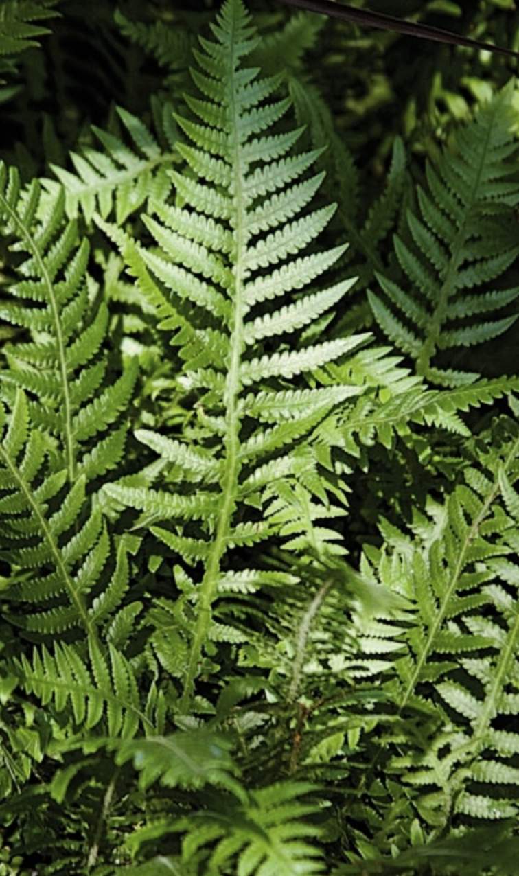 21 Best Ferns for Your Garden Japanese Beech Fern By Hort Printers #Ferns #Garden #Gardening #Shade #ShadeLoving #ShadeLover #ShadeGarden #Landscape #Woodlands
