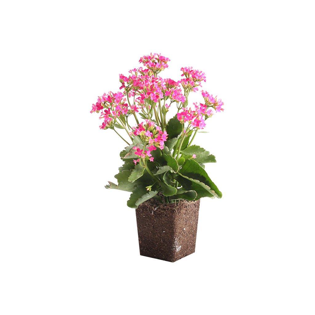 13 Best Indoor Succulents to Grow Now! Kalanchoe Blossfeldiana #Succulents #Garden #Gardening #HousePlants #Decor #HomeDecor #GrowYourOwn #Affordable #DIY #BudgetFriendly #EasyToGrow #EasyToMaintain #GrowItYourself