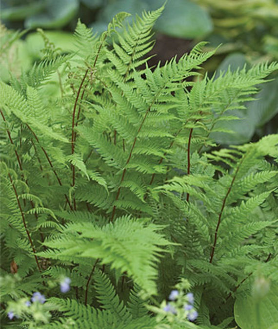 21 Best Ferns for Your Garden Lady In Red Fern #Ferns #Garden #Gardening #Shade #ShadeLoving #ShadeLover #ShadeGarden #Landscape #Woodlands
