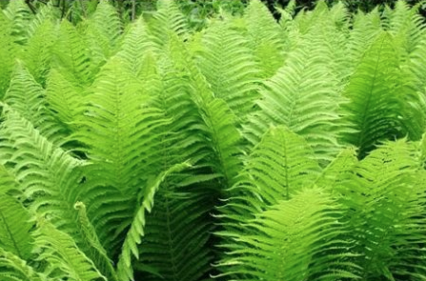 21 Best Ferns for Your Garden Ostrich Fern #Ferns #Garden #Gardening #Shade #ShadeLoving #ShadeLover #ShadeGarden #Landscape #Woodlands