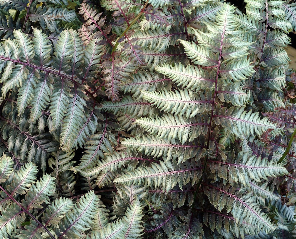 21 Best Ferns for Your Garden Pewter Lace Painted Fern By Terra Nova #Ferns #Garden #Gardening #Shade #ShadeLoving #ShadeLover #ShadeGarden #Landscape #Woodlands