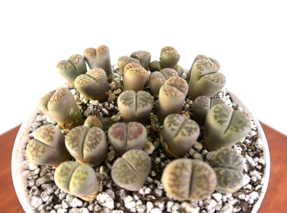 13 Best Indoor Succulents to Grow Now! Rare Lithops Succulent #Succulents #Garden #Gardening #HousePlants #Decor #HomeDecor #GrowYourOwn #Affordable #DIY #BudgetFriendly