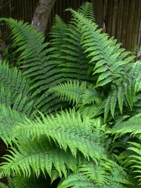 21 Best Ferns for Your Garden Robust Male Fern #Ferns #Garden #Gardening #Shade #ShadeLoving #ShadeLover #ShadeGarden #Landscape #Woodlands