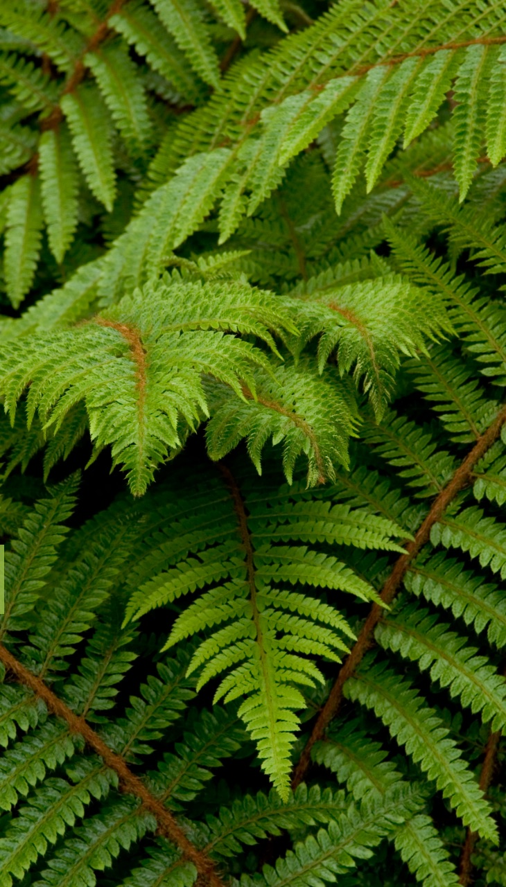21 Best Ferns for Your Garden Soft Shield Fern By Doreen Wynja #Ferns #Garden #Gardening #Shade #ShadeLoving #ShadeLover #ShadeGarden #Landscape #Woodlands