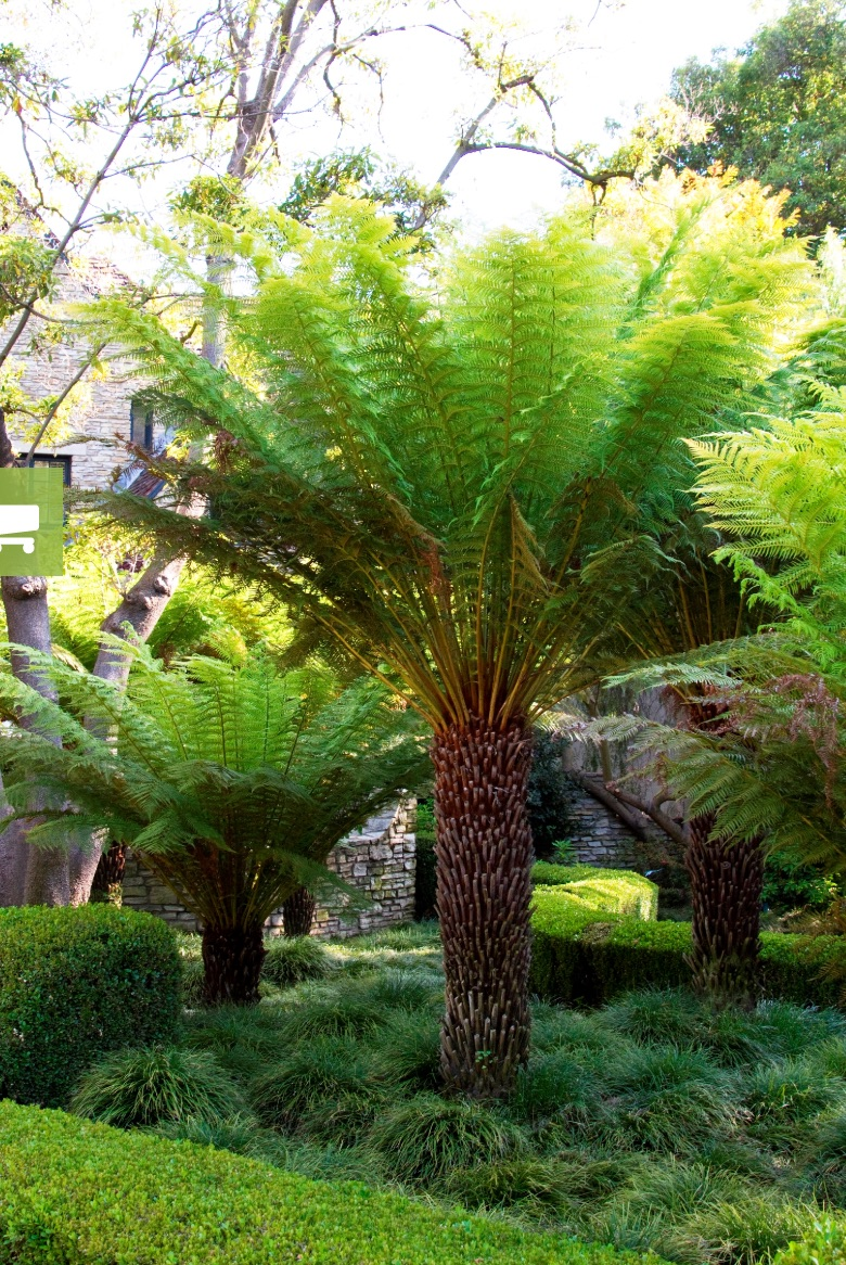 21 Best Ferns for Your Garden Tasmanian Tree Fern By Doreen Wynja #Ferns #Garden #Gardening #Shade #ShadeLoving #ShadeLover #ShadeGarden #Landscape #Woodlands