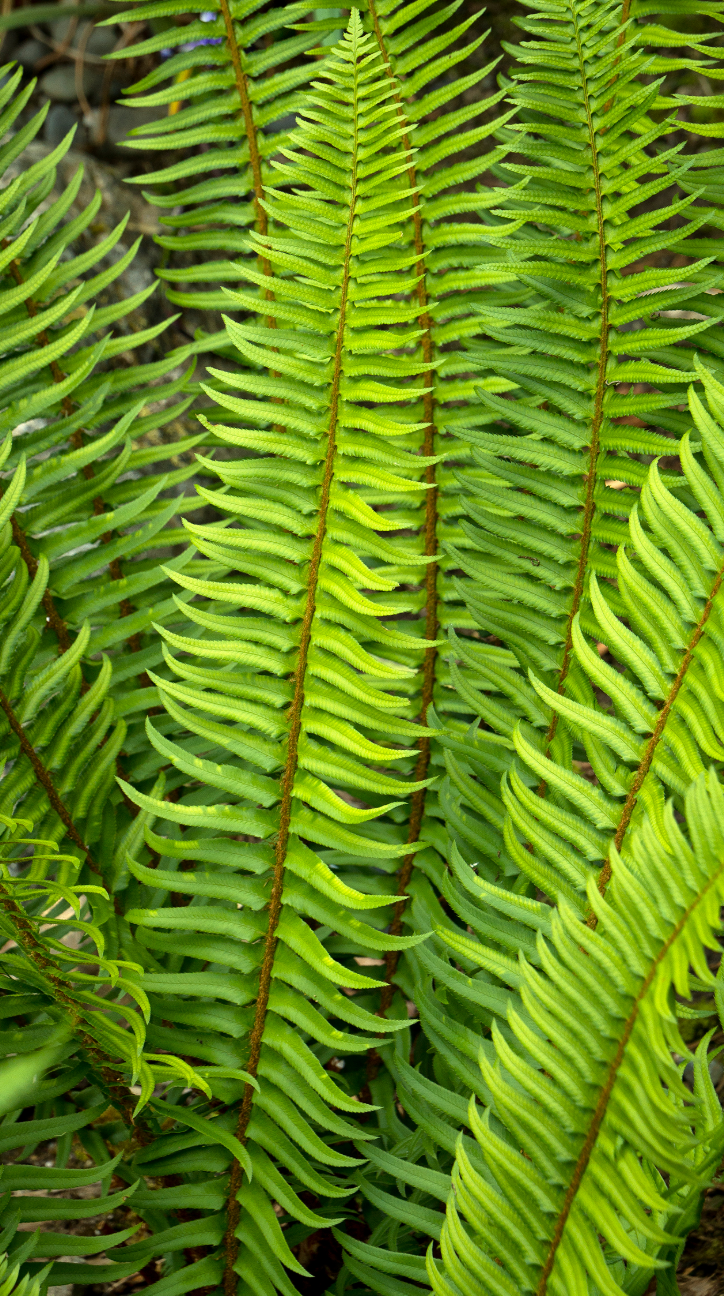 21 Best Ferns for Your Garden Western Sword Fern By Doreen Wynja #Ferns #Garden #Gardening #Shade #ShadeLoving #ShadeLover #ShadeGarden #Landscape #Woodlands