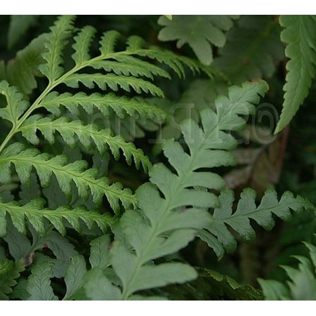 21 Best Ferns for Your Garden Tokyo Wood Fern #Ferns #Garden #Gardening #Shade #ShadeLoving #ShadeLover #ShadeGarden #Landscape #Woodlands