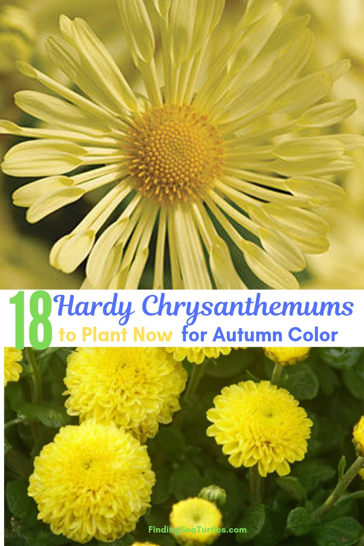 18 Hardy Chrysanthemums To Plant For Autumn Color #Mums #FallColor #FallMums #FallDecor #Garden #Gardening #Landscape
