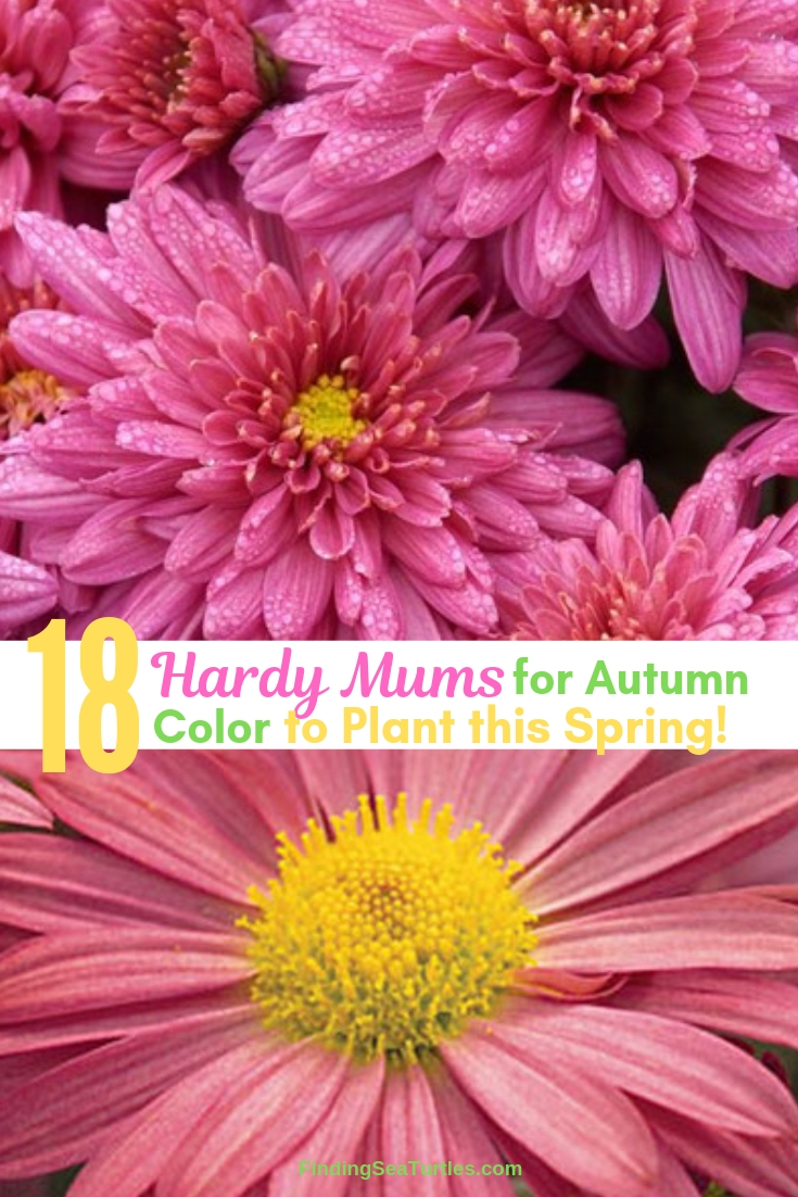 18 Hardy Mums For Autumn Color To Plant This Spring! #Mums #FallColor #FallMums #FallDecor #Garden #Gardening #Landscape