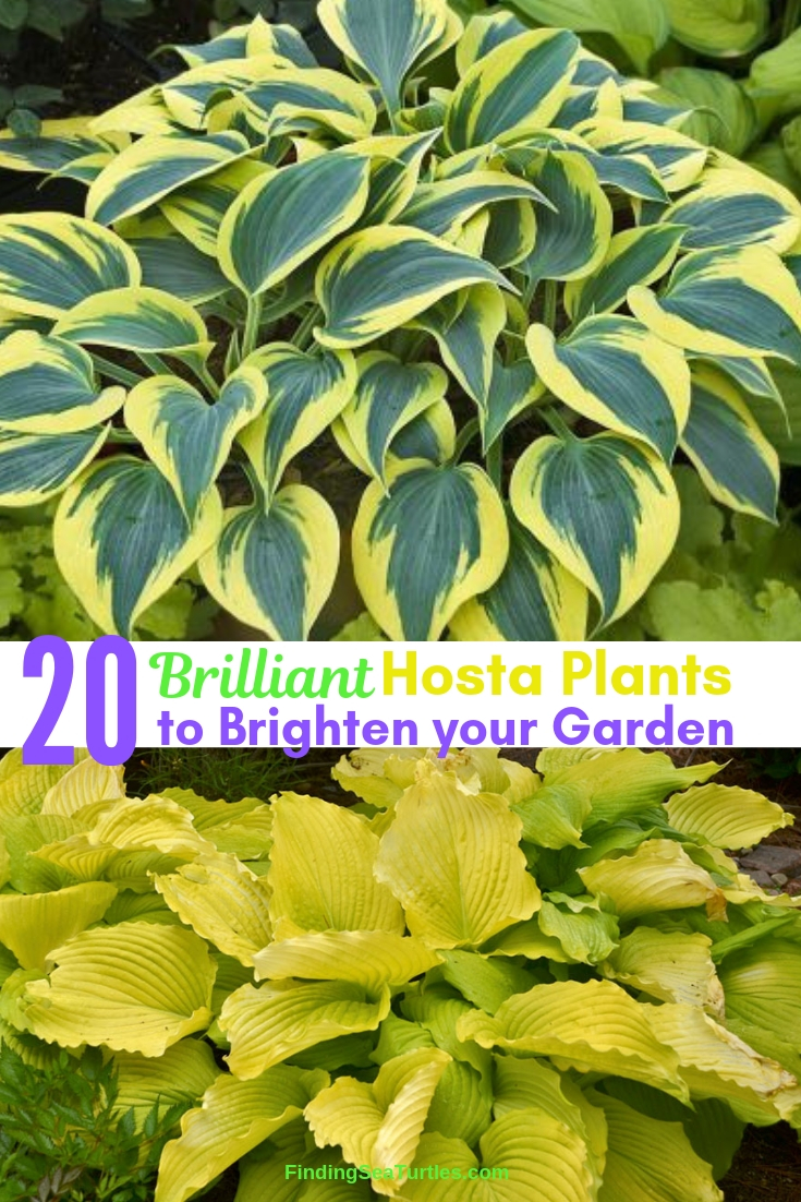 20 Brilliant Hosta Plants To Brighten Your Garden #Hostas #ShadeLoving #Garden #ShadeGarden #Gardening #Landscape
