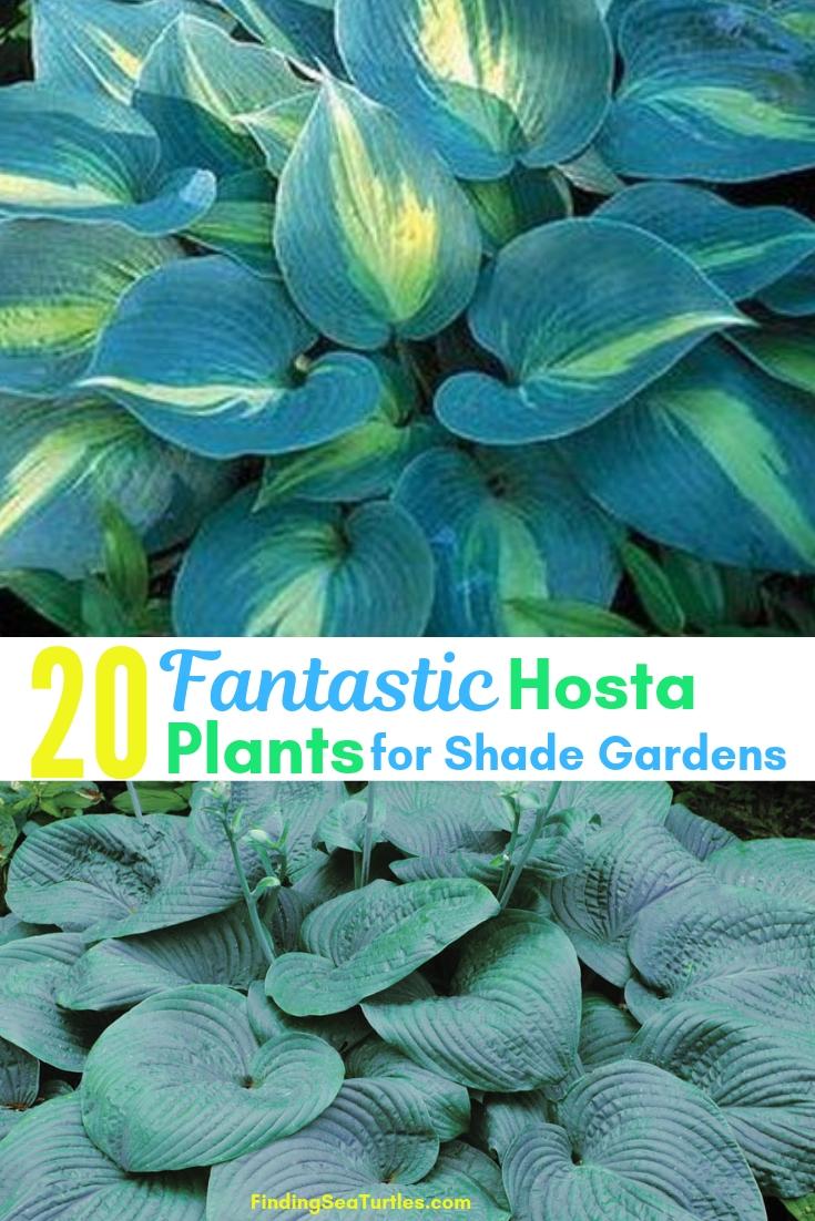 20 Fantastic Hosta Plants For Shade Gardens #Hostas #ShadeLoving #Garden #ShadeGarden #Gardening #Landscape