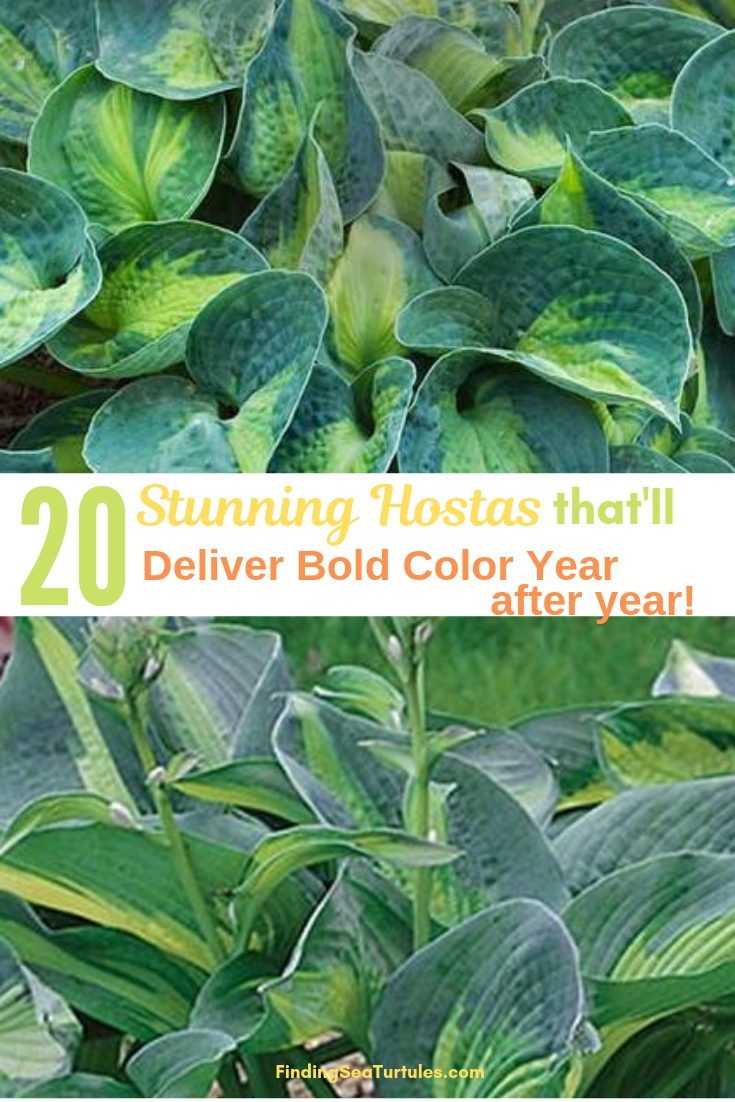 20 Stunning Hostas That'll Deliver Bold Color Year After Year! #Hostas #ShadeLoving #Garden #ShadeGarden #Gardening #Landscape