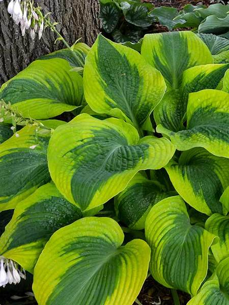 20 Best Hostas for Shade Garden Areas Afterglow Hosta #Hostas #ShadeLoving #Garden #ShadeGarden #Gardening #Landscape