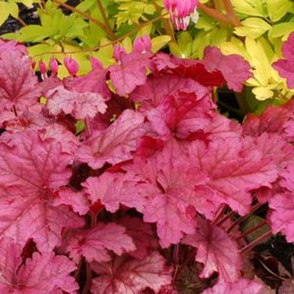 19 Easy to Grow Coral Bells for Colorful Gardens Berry Smoothie Coral Bells #Heuchera #CoralBells #Shade #ShadeGarden #Garden #Gardening #Landscape