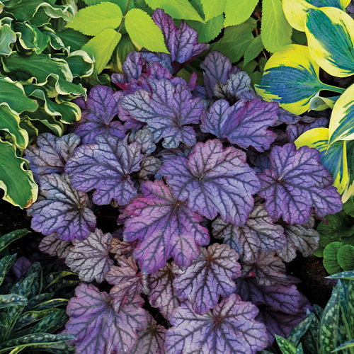 19 Easy to Grow Coral Bells for Colorful Gardens Blackberry Ice Heuchera #Heuchera #CoralBells #Shade #ShadeGarden #Garden #Gardening #Landscape