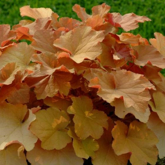19 Easy to Grow Coral Bells for Colorful Gardens Caramel Coral Bells #Heuchera #CoralBells #Shade #ShadeGarden #Garden #Gardening #Landscape