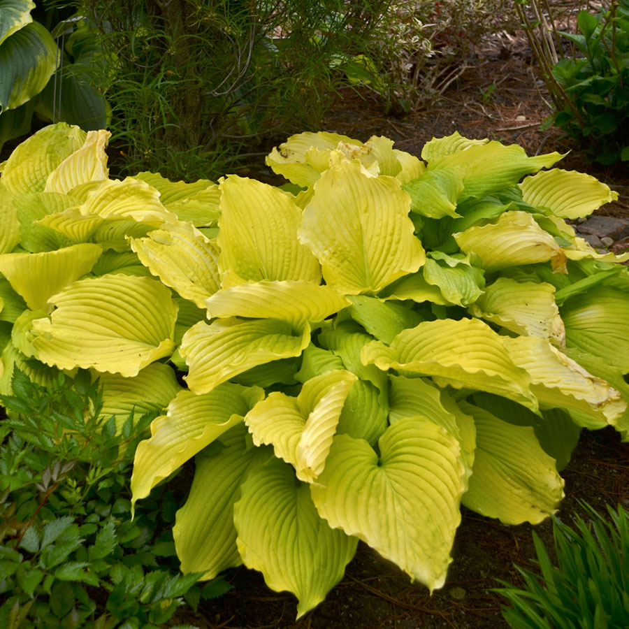 20 Best Hostas for Shade Garden Areas Coast To Coast Hosta #Hostas #ShadeLoving #Garden #ShadeGarden #Gardening #Landscape