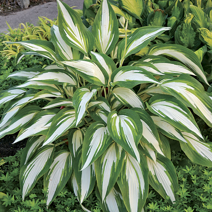20 Best Hostas for Shade Garden Areas Cool As A Cucumber Hosta #Hostas #ShadeLoving #Garden #ShadeGarden #Gardening #Landscape