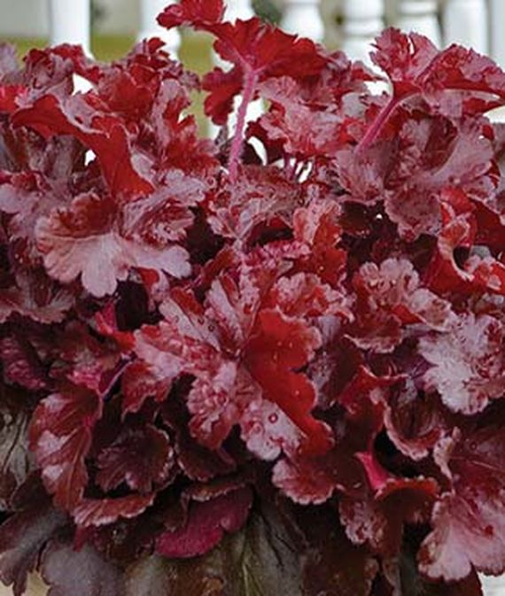 19 Easy to Grow Coral Bells for Colorful Gardens Dolce Cherry Truffles Heuchera #Heuchera #CoralBells #Shade #ShadeGarden #Garden #Gardening #Landscape