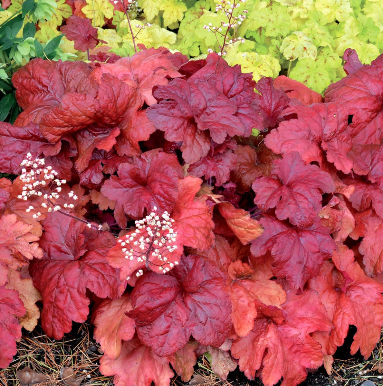 19 Easy to Grow Coral Bells for Colorful Gardens Fire Chief Heuchera #Heuchera #CoralBells #Shade #ShadeGarden #Garden #Gardening #Landscape