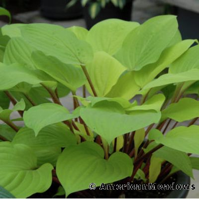 20 Best Hostas for Shade Garden Areas Fire Island Hosta #Hostas #ShadeLoving #Garden #ShadeGarden #Gardening #Landscape