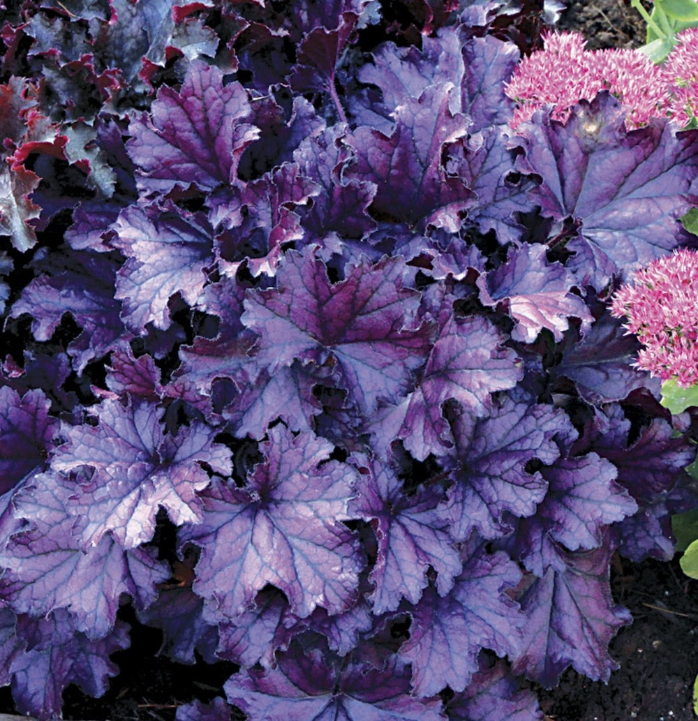 19 Easy to Grow Coral Bells for Colorful Gardens Forever Purple #Heuchera #CoralBells #Shade #ShadeGarden #Garden #Gardening #Landscape
