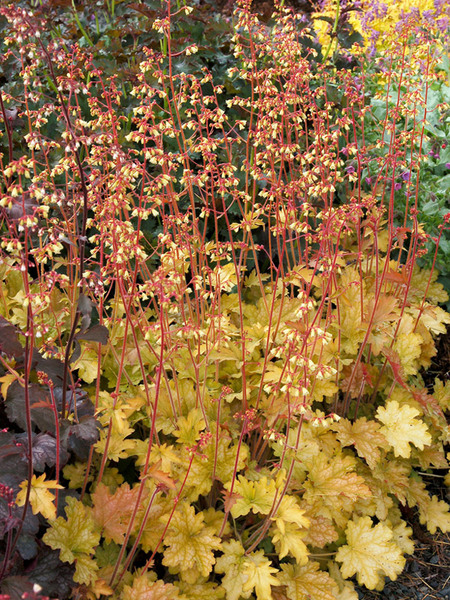 19 Easy to Grow Coral Bells for Colorful Gardens Ginger Ale Heuchera #Heuchera #CoralBells #Shade #ShadeGarden #Garden #Gardening #Landscape